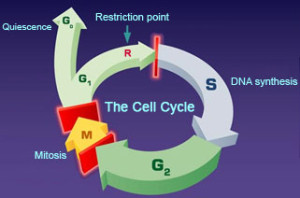 img_cellcycle-300x198